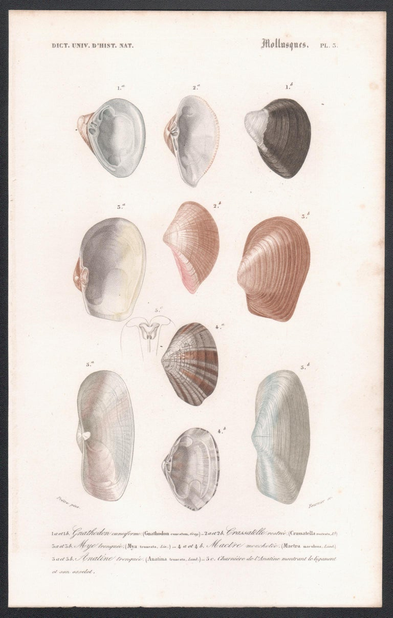 After Jean Gabriel Pretre (1768-1849) Print - 'Mollusques', a French Shell Engraving with original hand-colouring 1849