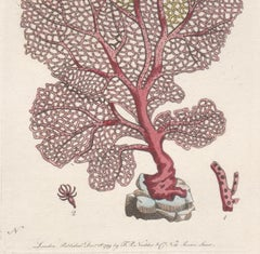 Venus Fan Coral, late 18th century engraving with original hand-colouring