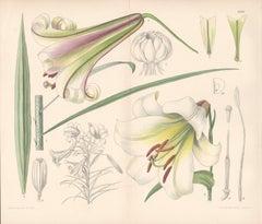 Lilium Centifolium (China) (Lily), Lillian Snelling botanical lithograph, 1924