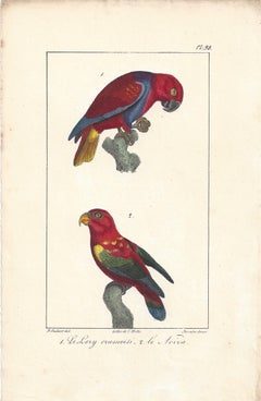 Parrots, French bird lithograph print, 1832