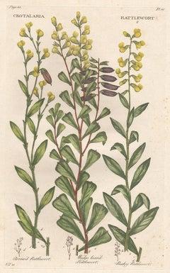 An English 18th century John Hill Rattlewort botanical flower engraving, c1770