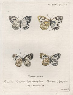 Esper 18th century Butterfly engraving