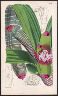 Nidularium Spectabile, antique botanical lithograph print