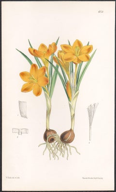 Crocus Olivieri, antique botanical flower lithograph print