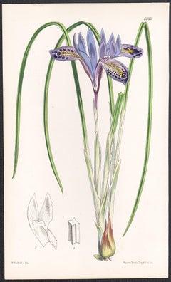 Xiphion Histrio, Syrian Iris, antique botanical flower lithograph print