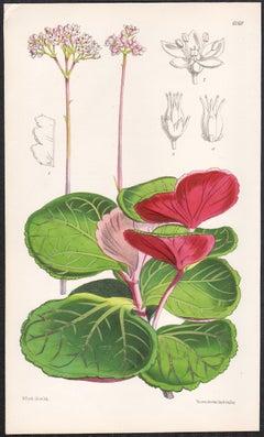 Crassula Saxifraga, antique botanical flower lithograph print