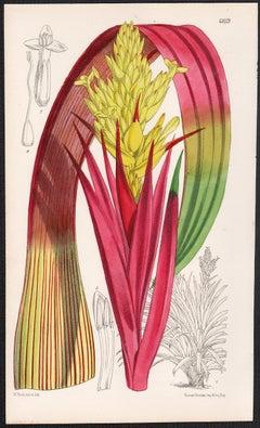 Caraguata Zahnii, antique botanical flower lithograph print