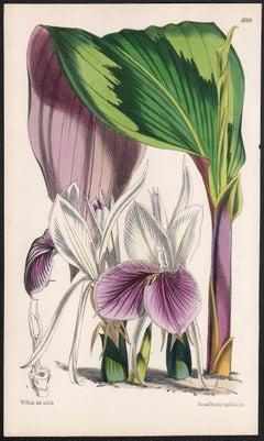 Kaempferia Rotunda, antique botanical flower lithograph print