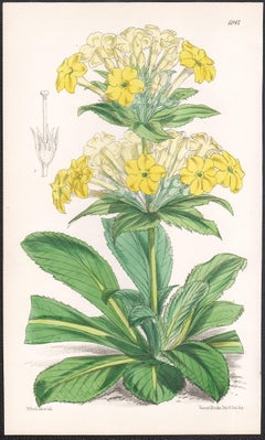 Primula Verticillata Var. Sinensis, antique botanical flower lithograph print