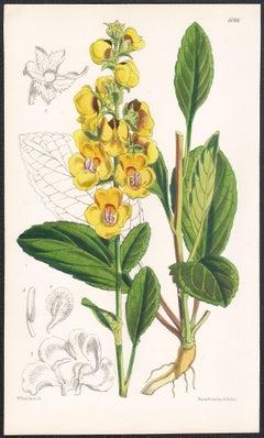 Celsia Betonicaefolia, antique botanical flower lithograph print