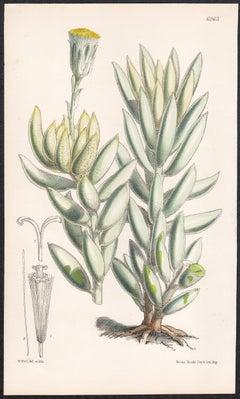 Senecio (Kleinia) Haworthii, antique botanical flower lithograph print