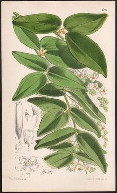 Alsomitra Sarcophylla, antique botanical flower lithograph print