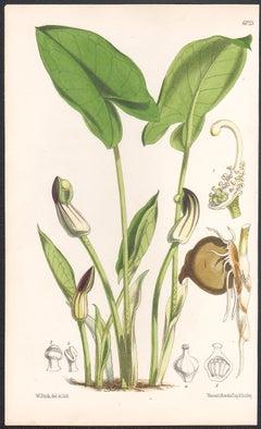 Arisarum Vulgare, antique botanical flower lithograph print