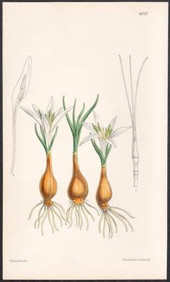 Merendera Aitchisoni, antique botanical flower lithograph print