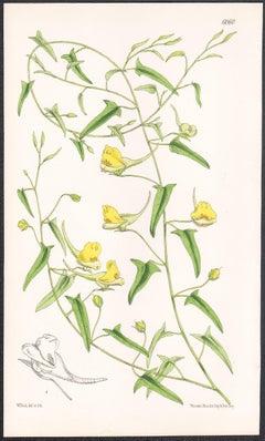 Linaria Sagittata, antique botanical flower lithograph print