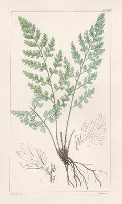 Ferns - Asplenium Adiantoides, antique fern lithograph print, 1854