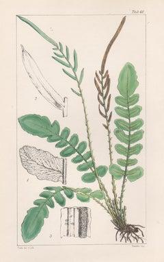 Ferns - Lomaria Nigra, antique fern lithograph print, 1854