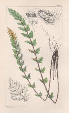 Ferns - Nothochlaena Distans, antique fern lithograph print, 1854