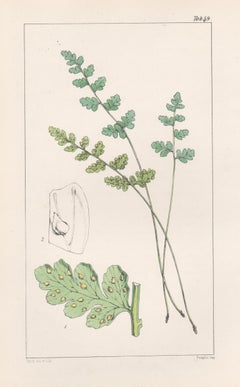 Ferns - Cystopteris Tasmanica, antique fern lithograph print, 1854
