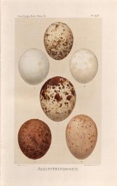 Bird Eggs - Antique egg chromolithograph print, 1905