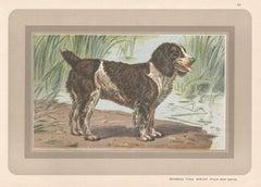 Epagneul D'Eau Anglais - English Water Spaniel, dog chromolithograph, 1930s