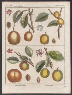 Apricot and Plum varieties, fruit engraving with later hand-colouring,  1770