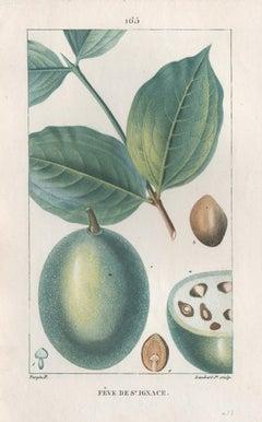 Feve de St Ignace (Strychnos ignatii), French botanical flower engraving, 1818