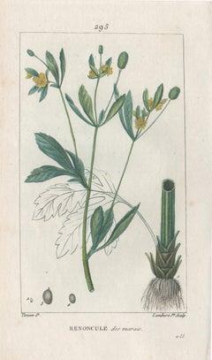 Renoncule des marais (Buttercup), French botanical flower engraving, 1818