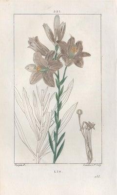 Lis (Liliy), French botanical herbal flower engraving, 1818
