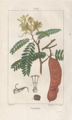 Tamarin (Tamarind), French botanical herbal medicinal flower engraving, 1818