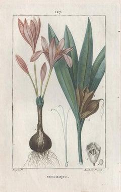 Colchique (Colchium), French botanical medicinal herbal flower engraving, 1818