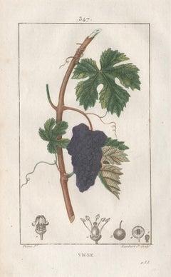 Vigne (Vine), French botanical wine grape fruit engraving, 1818