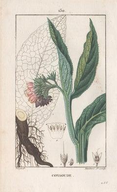 Consoude (Symphytum - Comfrey), French botanical herbal flower engraving, 1818