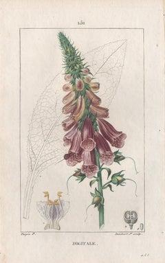Digitale (Foxglove), French botanical medicinal herbal flower engraving, 1818