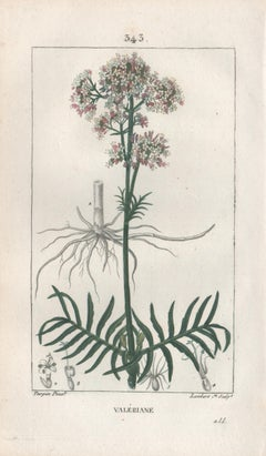 Valeriane (Valerian), French botanical medicinal herbal flower engraving, 1818