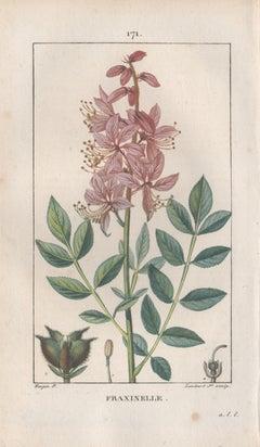 Fraxinelle (Dictamnus albus), French botanical herbal flower engraving, 1818