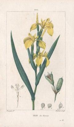 Iris des Marais (Yellow Iris), French botanical herbal flower engraving, 1818