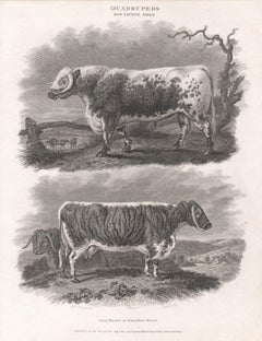 Long-Horned or Lancashire Breed, English animal cow cattle engraving, 1807