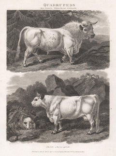 The Bull & The Cow and Calf, English animal cow cattle engraving, 1807