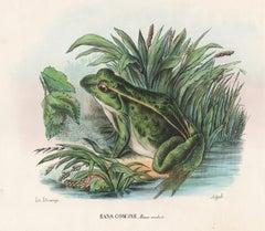Rana Comune (Common Frog), Italian lithograph, circa 1870
