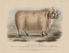 Black-Faced Heath Breed, sheep lithograph with original hand-colouring, c 1845
