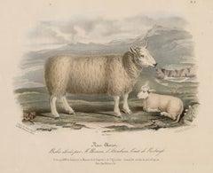 Cheviot Sheep, lithograph with original hand-colouring, circa 1845