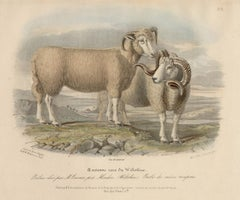 Wiltshire breed, sheep lithograph with original hand-colouring, circa 1845