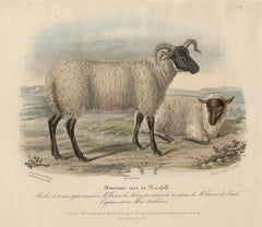Old Norfolk Breed, sheep lithograph with original hand-colouring, circa 1845