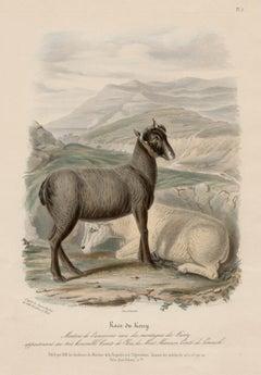 Kerry Breed, Irish sheep lithograph with original hand-colouring, circa 1845