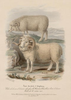 The English Forest Breed, sheep lithograph with original hand-colouring, c 1845