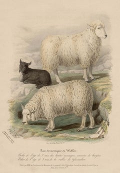 Wicklow Breed, sheep lithograph with original hand-colouring, c 1845