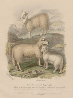 Soft-woolled Sheep of Wales, lithograph with original hand-colouring, c 1845
