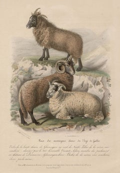 Higher Welsh Mountains Sheep, lithograph with original hand-colouring, c 1845