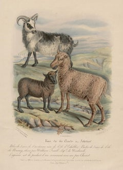 Shetland and Orkney Island Sheep, lithograph with original hand-colouring, c1845